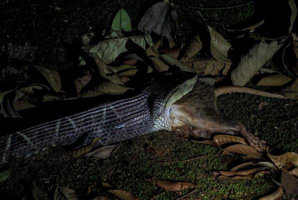 Terciopelo-Lanzenotter,(Bothrops asper): Sie ist innerhalb ihres Areals für den Großteil der Vergiftungen durch Schlangenbisse und auch einige Todesfälle verantwortlich.