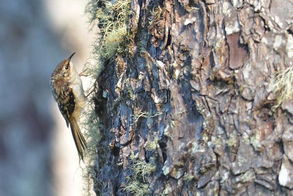 Andenbaumläufer, Brown creeper, Certhia americana