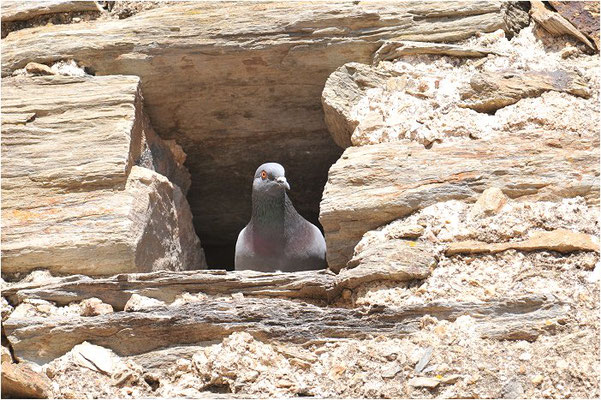 FELSENTAUBE, ROCK DOVE, COLUMBA LIVIA