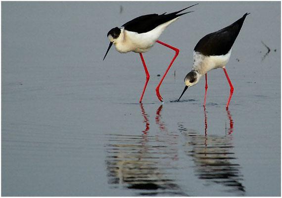 Das Männchen geht ums Weibchen herum und schaut sich das erst einmal genauer an.