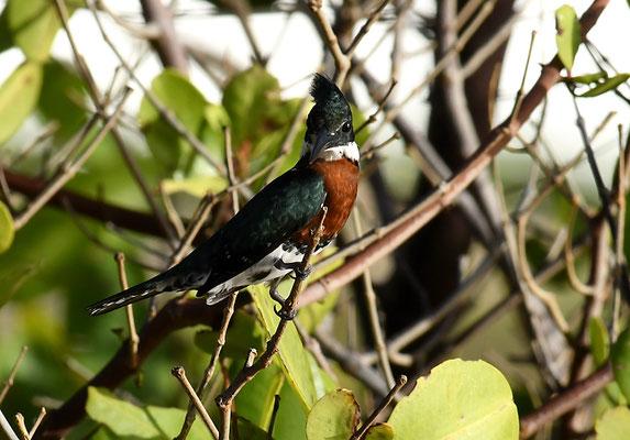 Amazonasfischer, Amazon kingfisher, Chloroceryle amazona