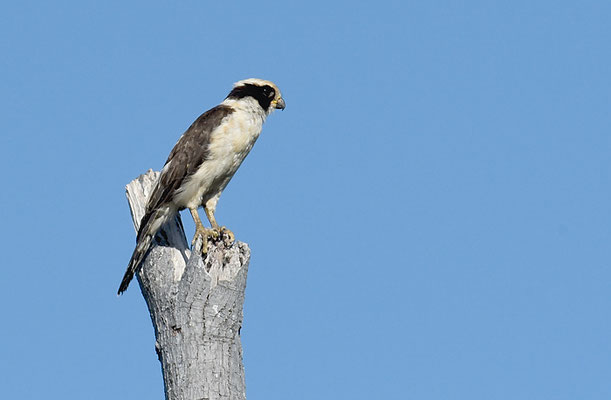 LACHFALKE, LAUGHING FALCON, HERPETOTHERES CACHINNANS