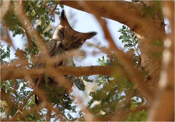AFRIKANISCHE ZWERGOHREULE, AFRICAN SCOPS OWL, OTUS SENEGALENSIS