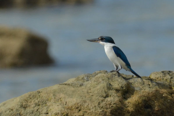HALSBANDLIEST, COLLARED KINGFISHER, HALYCON CHLORIS