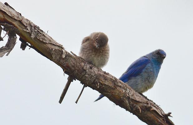 BERGHÜTTENSÄNGER, MOUNTAIN BLUEBIRD, SIALIA CURROCOIDES