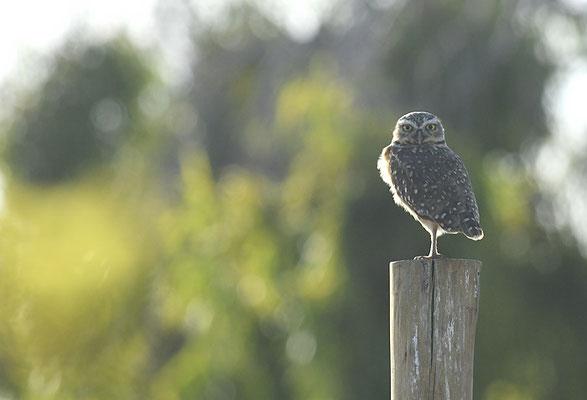 KANINCHENKAUZ, BURROWING OWL, ATHENE CUNICULARIA