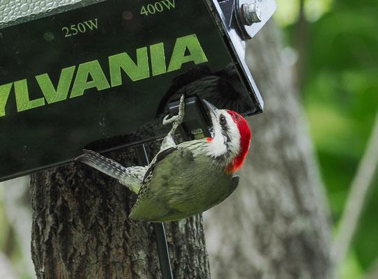 Wie der Name schon ausdrückt, kommt der Bahamaspecht nicht nur in Kuba, sondern auch auf den Bahamas vor.