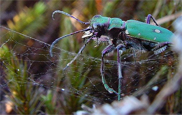Feld-Sandlaufkäfer hat sich in einem Spinnennetz verfangen