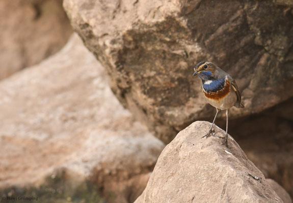 BLAUKEHLCHEN, BLUETHROAT, LUSCINIA SVECICA, Marokko