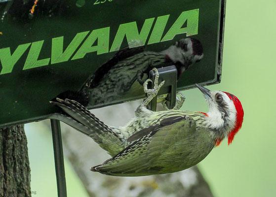Der Kubanische Grünspecht oder Blutfleckspecht (Xiphidiopicus percussus) gehört der Gattung Xiphidiopicus am, die monotypisch ist mit dem Blutfleckspecht als einziger Art. Er ist endemisch in Kuba.