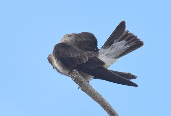 Braunbrustschwalbe, Brown-chested Martin, Progne tapera