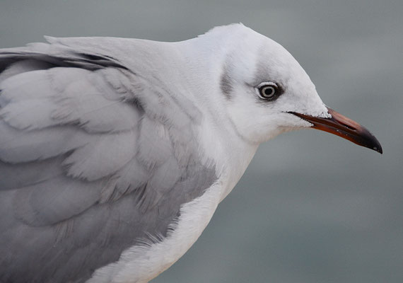 GRAUKOPFMÖWE, GREY-HEADED GULL, CHROICOCEPHALUS CIRROCEPHALUS