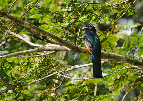 SCHWARZKOPFTROGON, BLACK-HEADED TROGON, TROGON MELANOCEPHALUS