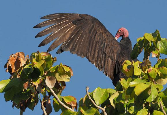 An Natur gab´s in Camaguey nicht so viel zu entdecken. Wenigstens dieser Truthahngeier stand Modell.