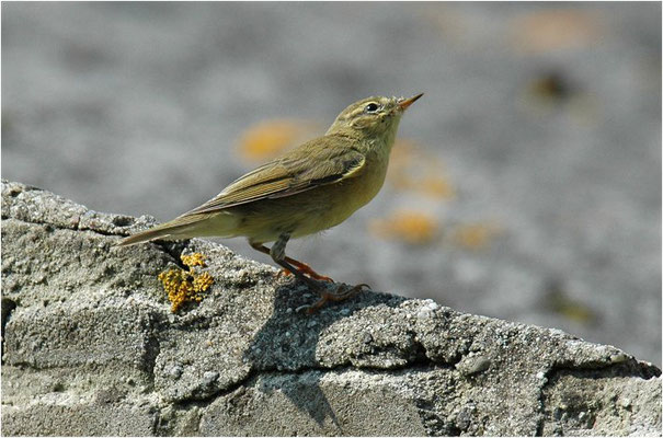 FITIS,  WILLOW WARBLER, PHYLLOSCOPUS TROCHILUS