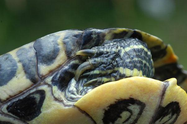Männchen der Rotwangenschildkröte