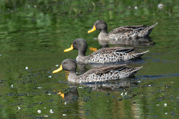 GELBSCHNABELENTE, YELLOW-BILLED DUCK, ANAS UNDULATA