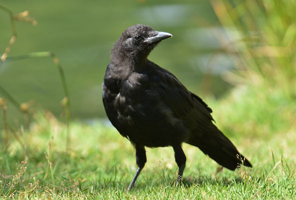 Amerikanerkrähe, American crow, Corvus brachyrhynchos