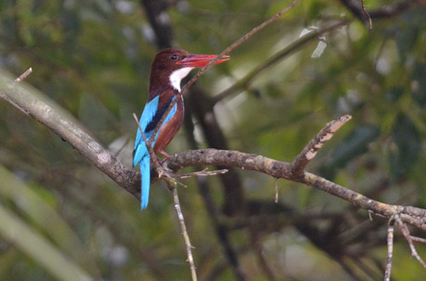 BRAUNLIEST, WHITE-THROATED KINGFISHER-HALCYON SMYRNENSIS