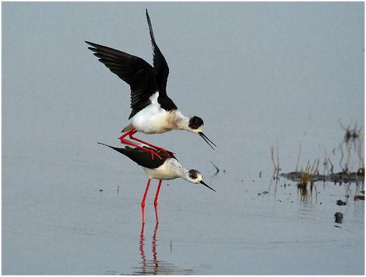 Er hat sein Gleichgewicht gefunden und stellt die Flügel hoch.