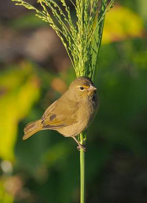 Goldbrauen-Gimpeltangare oder Kleiner Kubafink
