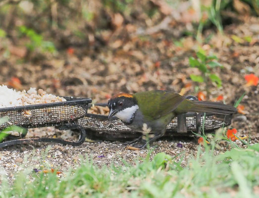 BRAUNKOPF-BUSCHAMMER, CHESTNUT-CAPPED BRUSH-FINCH, BUARREMON BRUNNEINUCHA