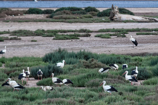 WEISSSTORCH, WHITE STORK,  CICONIA CICONIA