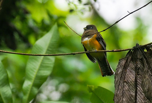 GOLDBAUCHTROGON, ORANGE-BELLIED TROGON, TROGON AURANTIIVENTRIS
