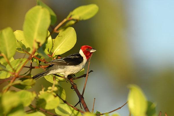 DOMINIKANERKARDINAL, RED-COWLED CARDINAL, PAROARIA DOMINICANA