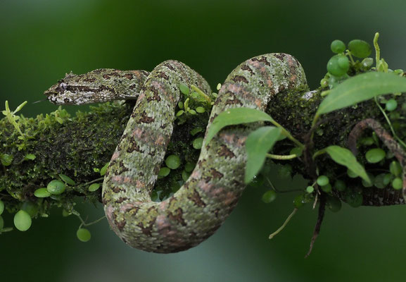 Schlegelsche Lanzenotter (Bothriechis schlegelii): Bothriechis schlegelii bleiben oft tagelang, ja sogar wochenlang am gleichen Ort auf einem Blatt, einer Blüte oder auf einem Ast.