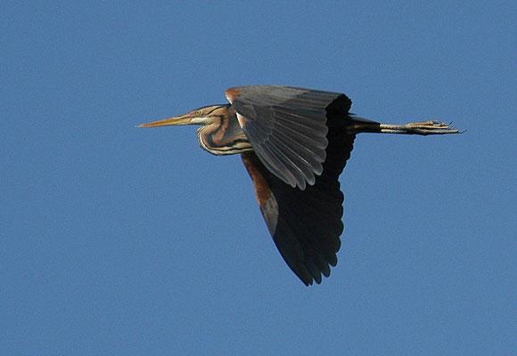 Im Vergleich zum Graureiher hat der Purpurreiher viel größere Füße. Auch im Flug wird das deutlich.