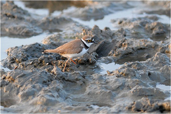 FLUSSREGENPFEIFER, LITTLE RINGED PLOVER, CHARADRIUS DUBIUS