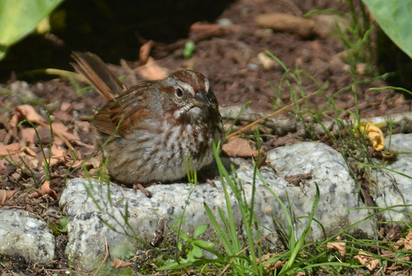 SINGAMMER, SONG SPARROW, MELOSPIZA MELODIA