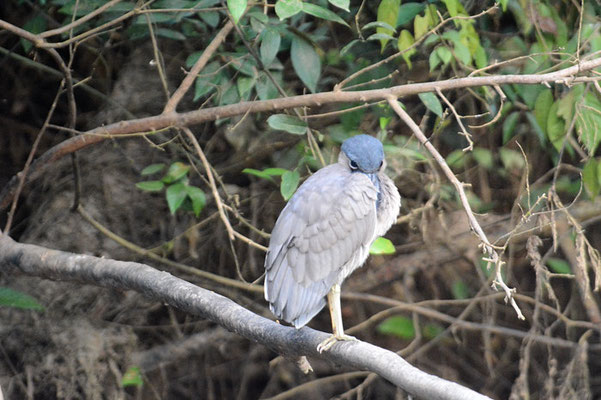 KAHNSCHNABEL, BOAT-BILLED HERON, COCHLEARIUS COCHLEARIUS