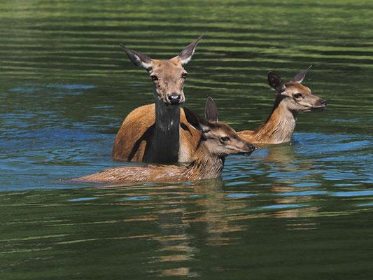 Besonders bei Hitze suchen schon die Hirschkälber gern das Wasser auf.