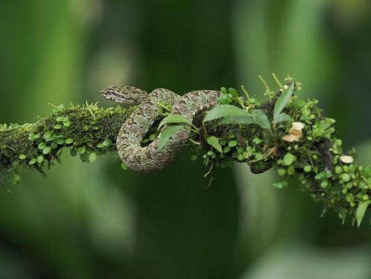 Schlegelsche Lanzenotter (Bothriechis schlegelii): Diese Schlange gibt es in verschiedenen Farbvariationen.