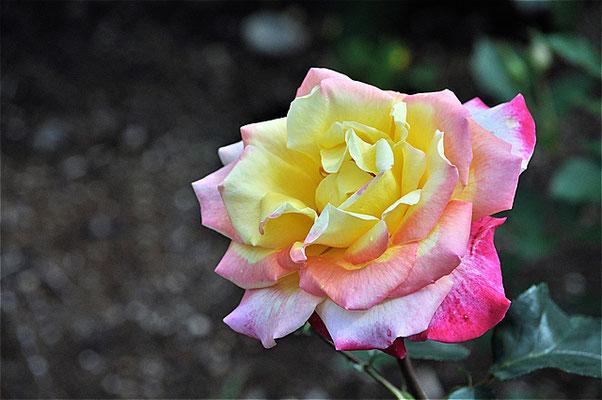 栄光、開花
