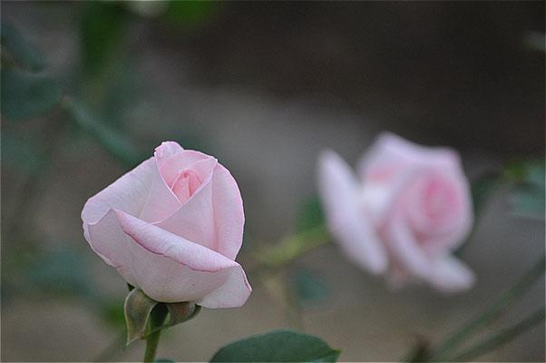 花嫁・・・という名のバラです