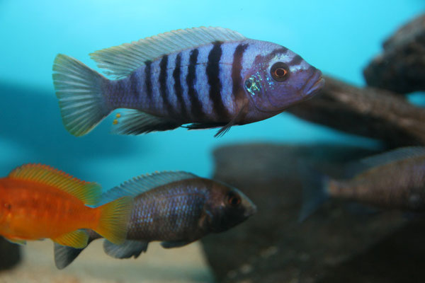 Cynotilapia afra red top