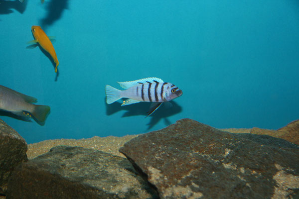 Cynotilapia afra white top