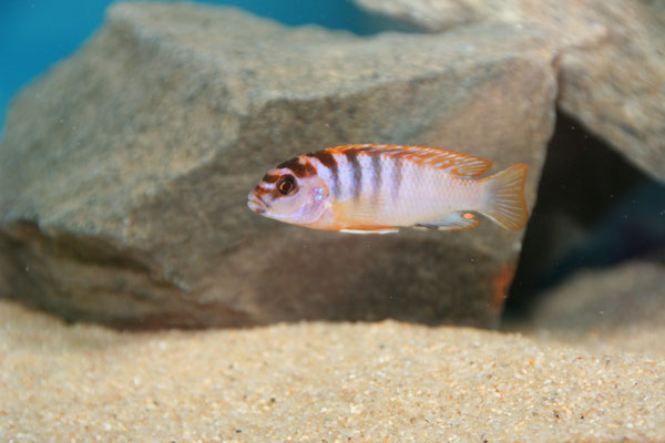 Labidochromis sp. hongi -Red Top-