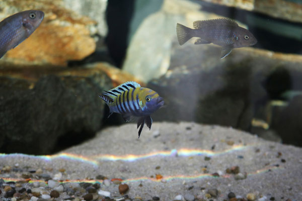 Cynotilapia afra Cobue /Mozambique