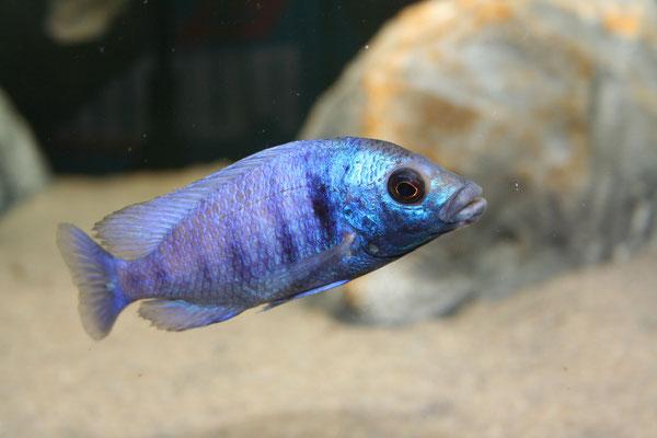 "Placidochromis phenochilus ""gisseli"""