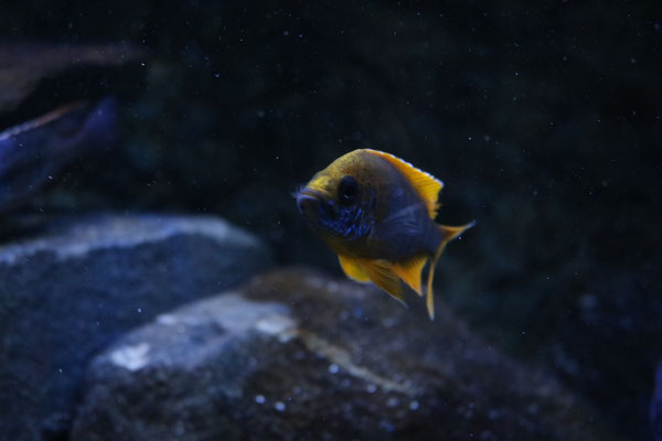 Aulonocara jacobfreibergi undu reef (mamelela)