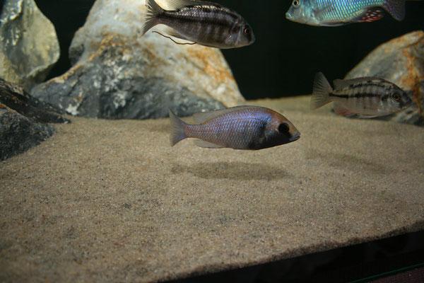 """Placidochromis phenochilus """"gisseli"""" weibchen"""