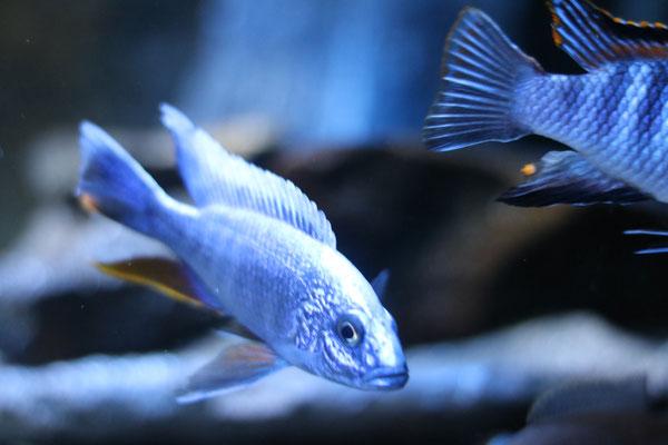 Scianochromis fryeri
