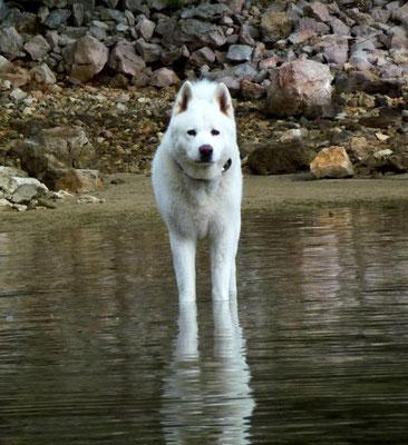 Archie Star Hunde-Modell