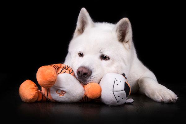 Archie Star Fotomodell Hund