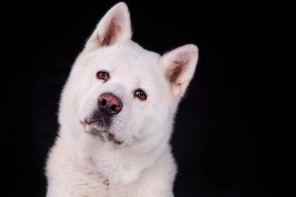 Archie Star Dogmodel portrait