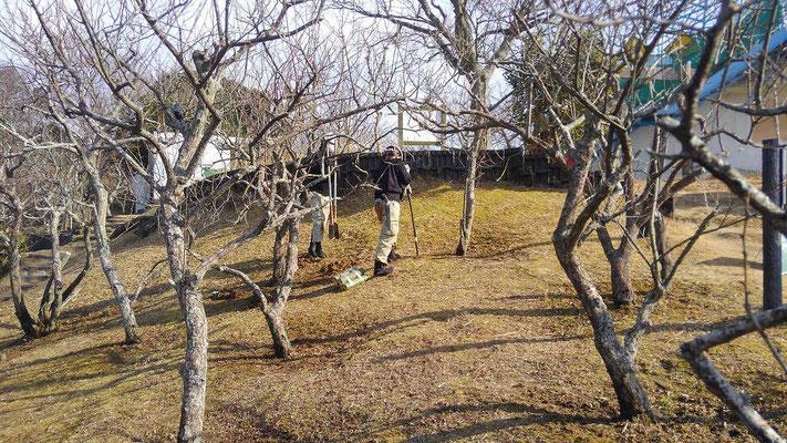 梅の樹勢回復